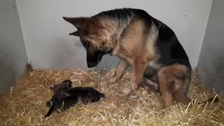 German Shepherd Mom Is Captivated By Her Puppies - Video