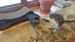 Kitten and Cat High Five!  - Video