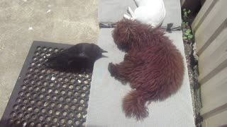Nevermore The Raven Bothers His Doggy Best Friend - Video