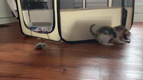 5 Month Old Kitten plays with toy Mouse