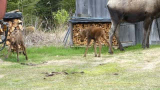 Twin Moose Calves Playing