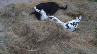 Puppies rolling and playing in the hay