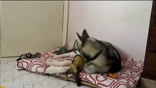 Pet ferret challenges husky to play fight - Video