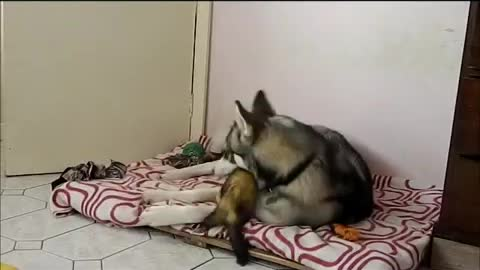 Pet ferret challenges husky to play fight