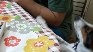 White dog reaches for green shirt owner's food at table - Video