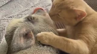 Cat gives little pig morning kisses - Video