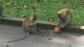 Smart Monkey Uses Hands to Find Nuts - SO Intelligent!