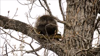 North American Porcupine Enjoys a Snack in a Tree
