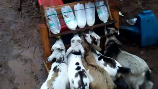 Feeding time for baby goats is a cuteness overload!