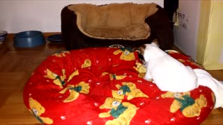 chihuahua dog puppy playing with towel adorable - Video