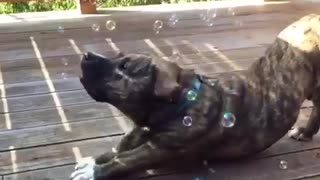 Music black puppy popping bubbles with its mouth - Video