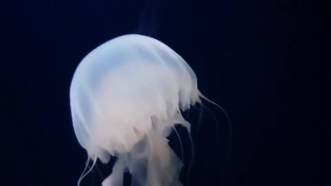 Jelly fish colorful and beautiful 1 - man & camera