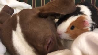 A hamster cuddles a brown dog on a bed  - Video