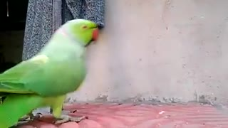 Cute talking and Dancing parrot Playing with girl