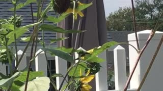 Golden Finch feeding on Sunflowers  - Video
