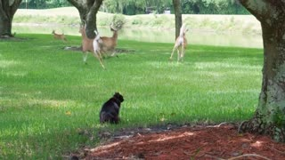 4 Deer Terrified Of 1 Angry Cat - Video