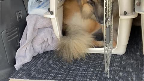 Large Dog Squeezes Into Small Carrier