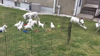 12 Dalmatian puppies watch their parents play - Video