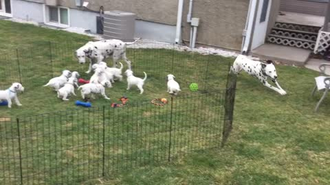 12 Dalmatian puppies watch their parents play