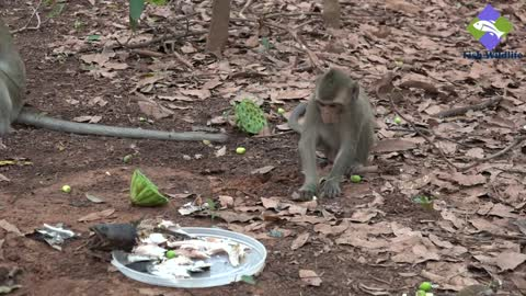 WOW! Monkeys eating fish | Do monkeys like eating burning fish?