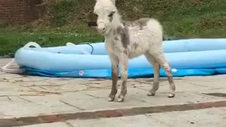 White mini horse makes weird noise in backyard makes owners laugh - Video