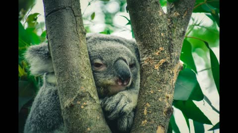 Let's save the koala bears in Australia from the fires
