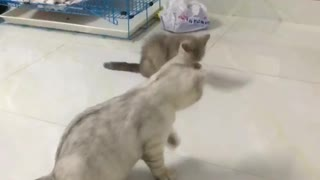 two cats clean  up together  - Video