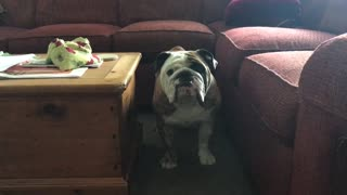 Cranky Bulldog the Day After Being Neutered  - Video