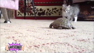 The cat is playing with the turtle - Video