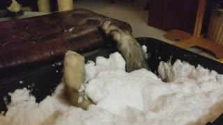 Ferrets First Snow