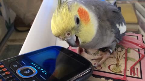 Reflection-loving Cockatiel purrs like a cat