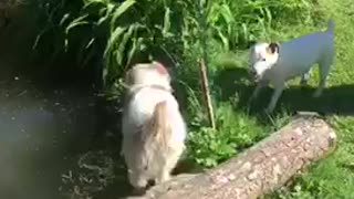 Dog barks and scares dog into pond - Video