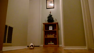 Guinea Pig in Hallway - Video