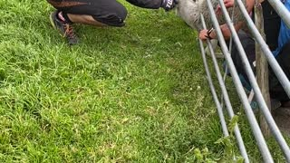 Bikers Rescue Sheep
