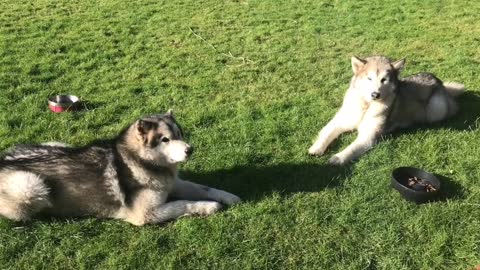 Patient Malamutes wait for the right word to eat