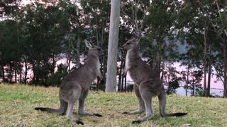Playful Kangaroo Sparring Session