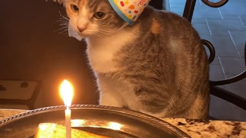 Cat Enjoys Salmon on Her First Birthday