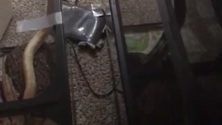 Guy walks into room to see his snakes doing the same thing - Video