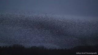 Stunning footage captures starling murmuration in Ireland