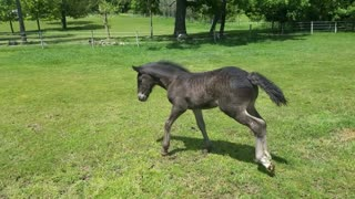 Spoons the orphaned foal plays with her ball at 3 weeks old