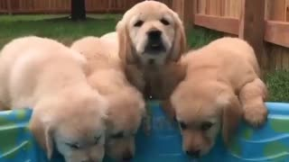 cutest goldens Drinking from the Pool - Video