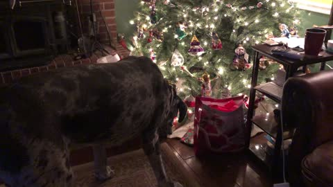 Great Dane Enthusiastically Opens Christmas Gift