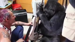 Red Hot Chili Peppers' Bassist Is Up For A Jamming Session With Koko The Gorilla - Video