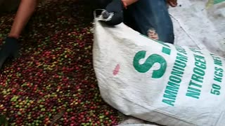 harvesting coffee  - Video