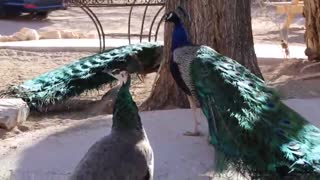 Peacocks running around.