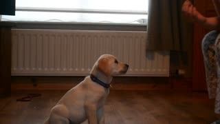 Labrador puppy impressively performs new tricks