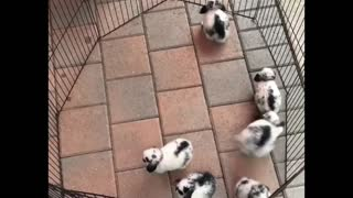 Rabbits playing At The iron pipe At Home - Video