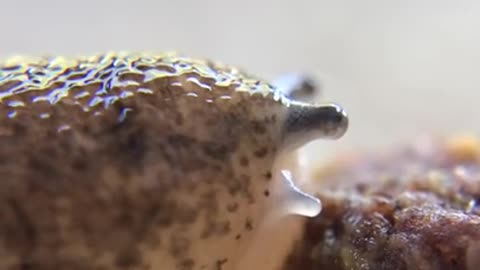 Incredible up-close footage of slug eating food