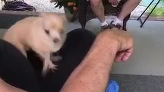 Little dog on mans lap is freaking out