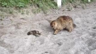 Battle of snake with cat  - Video